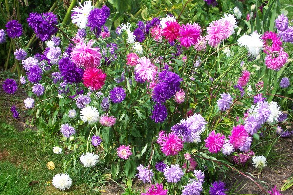 how to grow aster perennial flower plants, growing asters, aster seeds, Natural flower