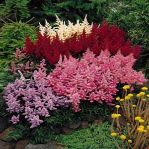 How to grow astilbe perennial flowers growing astilbe plants how to grow astilbe perennial flower mightylinksfo