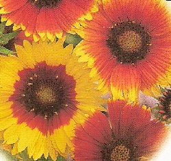 How To Grow Care For Blanketflower Perennial Flowers Growing