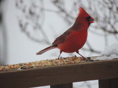 northern cardinal pictures, images
