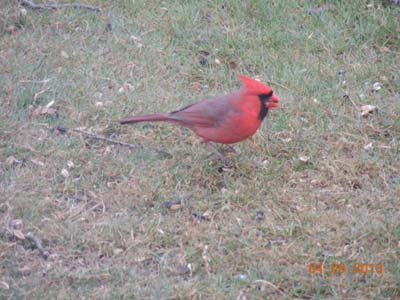 cardinal images, pictures, jpgs, male