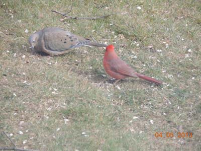cardinal bird picture, images, jpeg