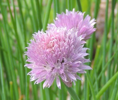 chive, chives, herb, plant, plants, image, pictures