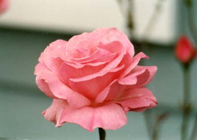 Meaning of rose colors meaning of different color roses rose picture images jpg pictures mightylinksfo