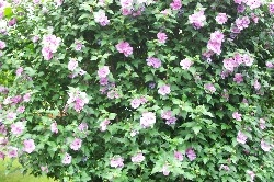 rose of sharon, bushes, bush, rose, sharon