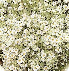 BBC - Gardening: Plant Finder - Snow-in-summer