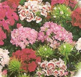 Sweet William Plant - Dash Magician - All Perennial Plants ... | Sweet William Plant