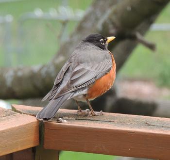 American Robin Bird Identification Diet Habitat Images By The Gardener S Network