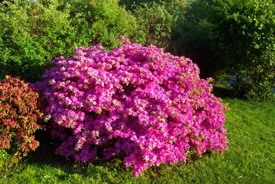 How to Grow Azalea, Azalea bush Care, The Gardener39;s Network