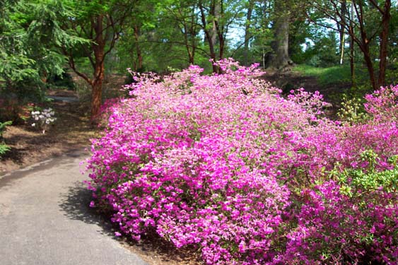 How to grow azalea azalea bush care the gardener 39 s network - Care azaleas keep years ...