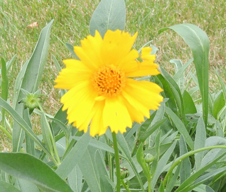 Coreopsis Flower Plant Seeds Perennial