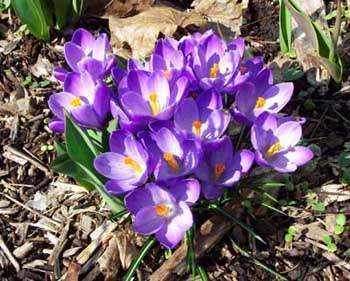 How to Grow Snow Crocus, Growing Crocuses Corms - The Gardener's ...