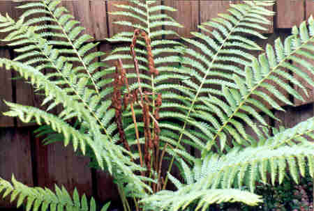 Flowers How To Grow Ferns Caring For Fern Plants By The