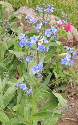 Forget Me Not Flower Plant Seeds