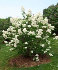 transplanting, lilacs, bushes, pictures, transplanting lilacs