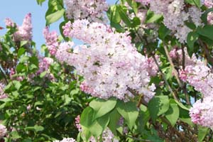 Lilac Flower Bushes