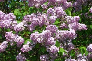 Rose Flower on Lilacs  Lilac Bush  Growing Lilacs  How To Grow Lilacs  2013 Festivals