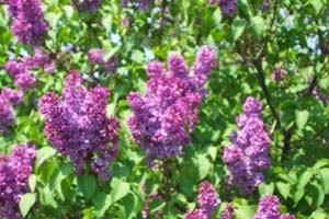 lilac, lilacs, pictures, jpg, jpegs, images