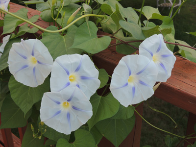 morning glory seeds how to take