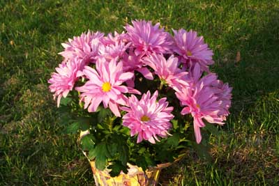 How To Grow Hardy Chrysanthemums Growing Mums Plants By The