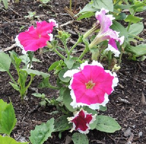 How To Grow Petunias Petunia Plants For A Better Flower Garden