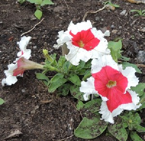 How To Grow Petunias Petunia