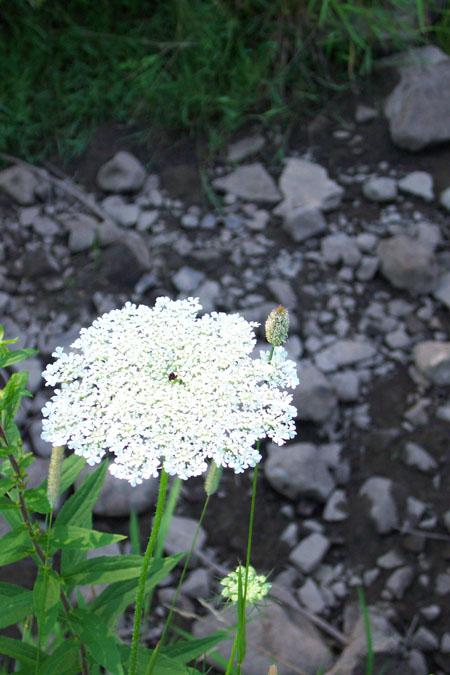 http://www.gardenersnet.com/flower/pics/qal02.jpg