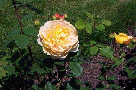 Rose bush garden, Gardener's Network