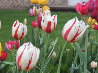 Planting Tulip Bulbs How To Grow Tulips Growing Bulb Flowers By
