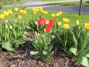 Planting Tulip Bulbs How To Grow