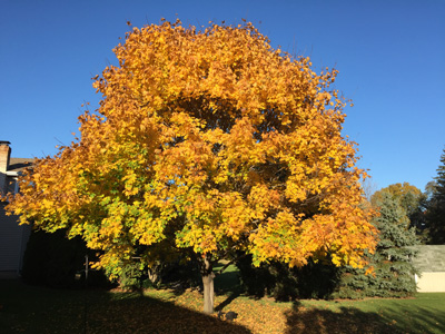 How To Grow Care For Maple Trees By The Gardener S Network