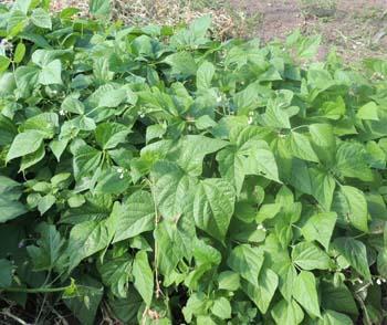 Garden Beans Top Crop Garden Ftempo