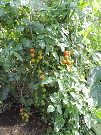 How to grow cherry tomatoes growing cherry tomato plants for How to grow cherry tomatoes from seeds