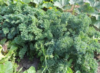 How To Grow Kale Plants Growing Seeds Borecale Nutrition